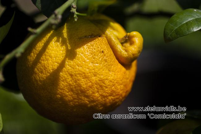 citrus_auranticum_cornicultata015