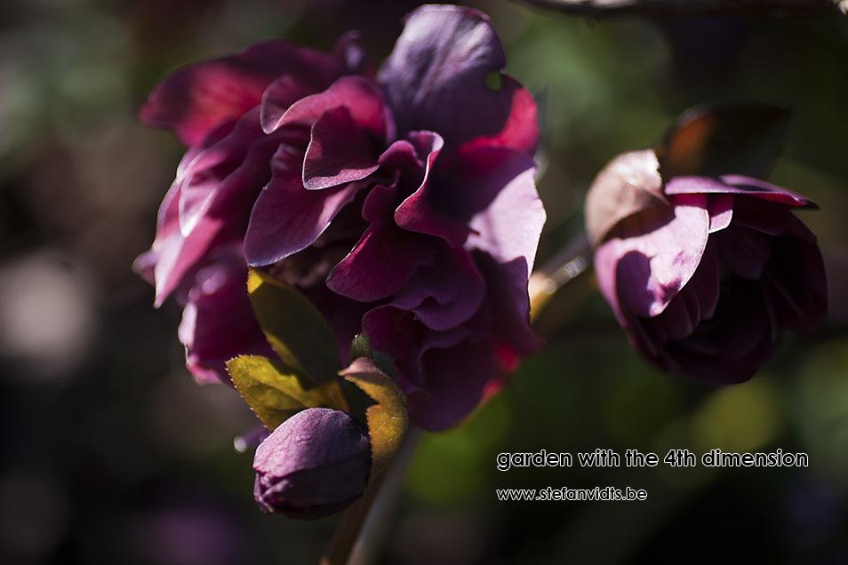 personal_garden_0003helleborus_dubbel
