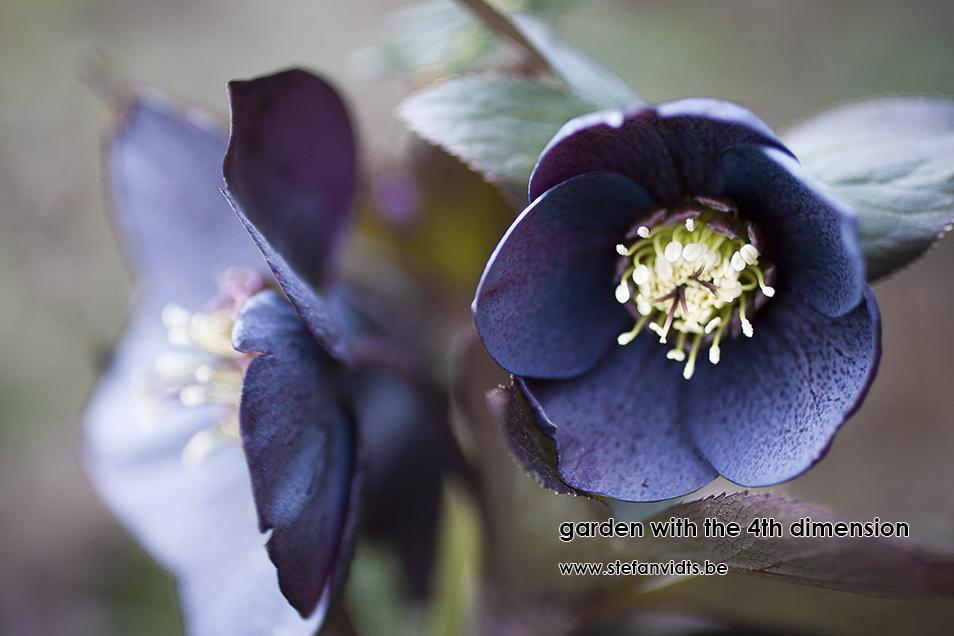 personal_garden_0015helleborus_leisteen