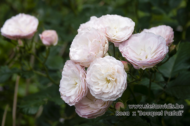 rosa_x_bouquet_parfait_02