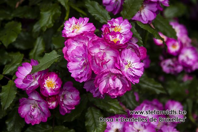 rosa_x_dentelles_de_bruxelles_02