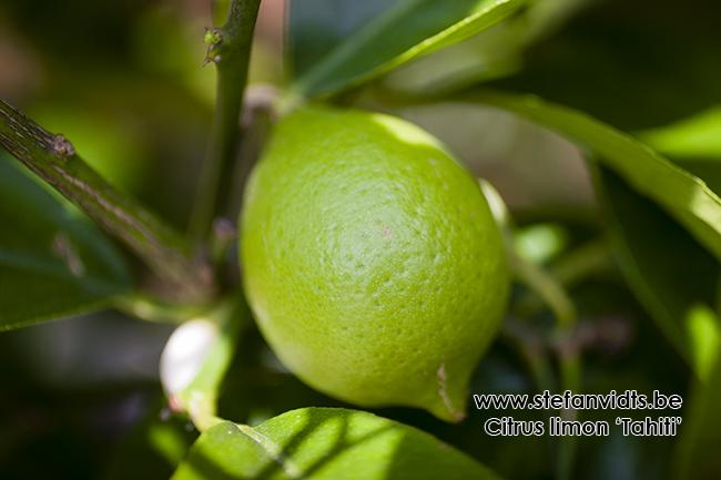 citrus__limon_thahiti_0029