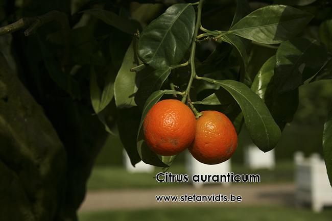 citrus_auranticum_0047