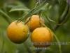 0016citrus_auranticum_salicifolia