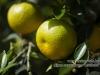 citrus_auraniticum_mirtifolia_0035