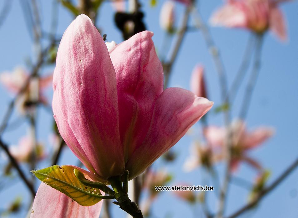 web_magnolia_daybreak_0039