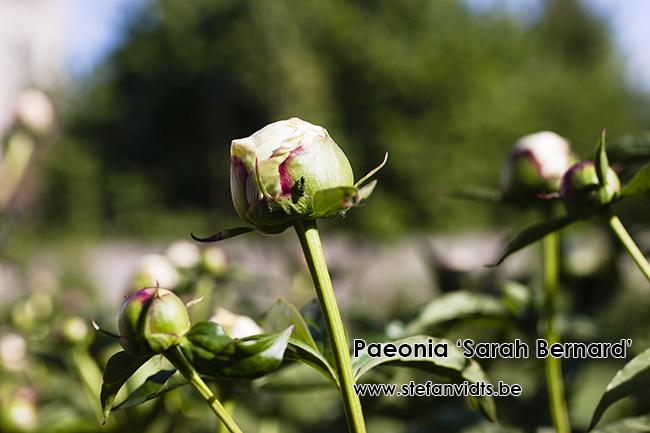 paeonia_sarah_bernard