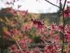 wintergarden_hamamelis