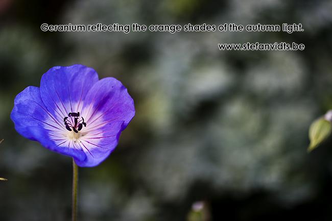 geranium_autumn_