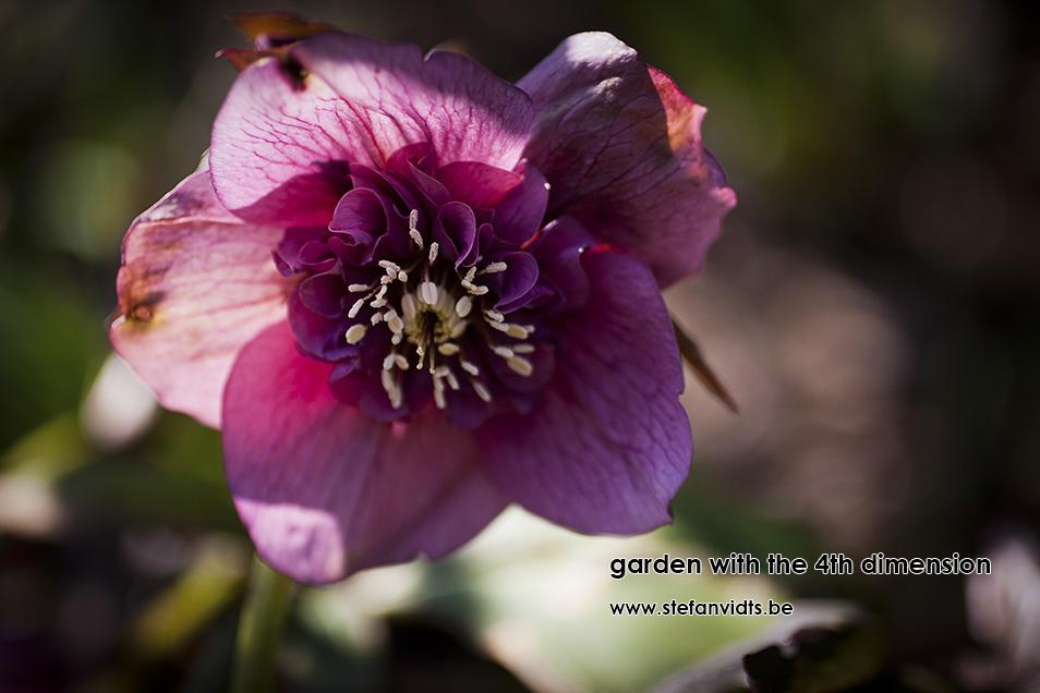personal_garden_0005helleborus_annemoon
