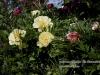 personal_garden0025-pioenen_itho_en_kalmia