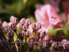 personal_garden_-025kalmia_0