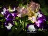 personal_garden_-043irissen_essenlaantje