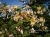 personal_garden_0004bloeiende_rustica_hybride