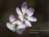 personal_garden_0014hepatica_pubescens
