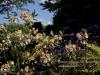 personal_garden_0032-harde_genste_rhodo_synthia
