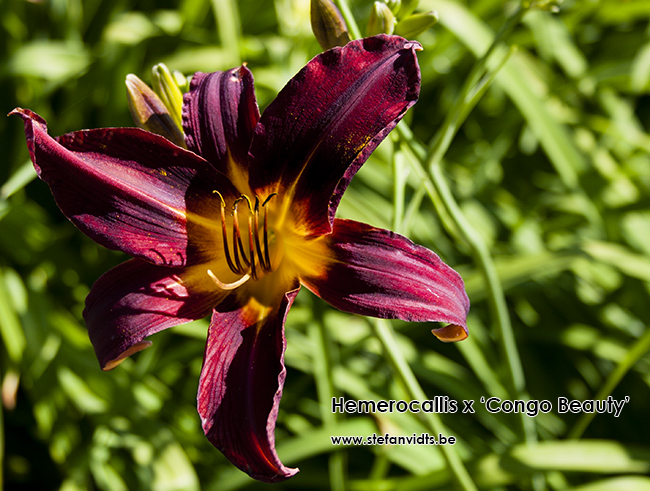 hemerocallis_congo_beauty_0136