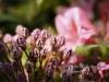 personal_garden_-025kalmia