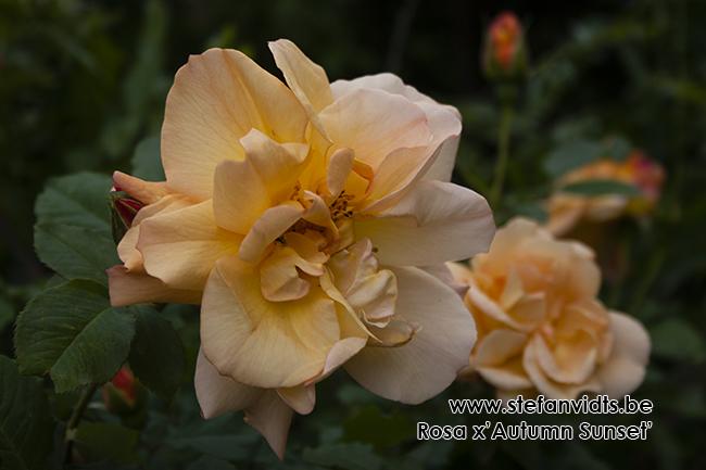 rosa_x_autumn_sunset02