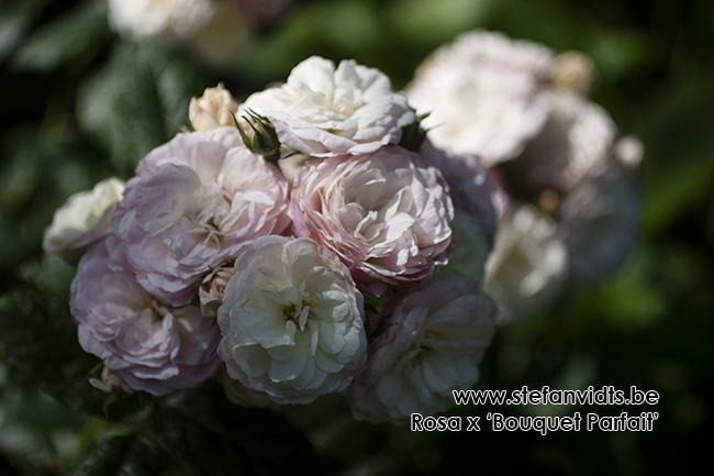 rosa_x_bouquet_parfait_03